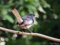 Oriental magpie-robin (Copsychus saularis) (17074342738).jpg