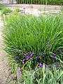 OrtoBotPadova Iris graminea.jpg