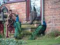Ostentation of Peacocks - geograph.org.uk - 90012.jpg
