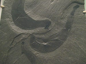 Soft-bodied organism - The exceptional Burgess shale site preserve soft-bodied organisms like these priapulids.