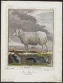 Ovis aries - 1700-1880 - Print - Iconographia Zoologica - Special Collections University of Amsterdam - UBA01 IZ21300019.tif