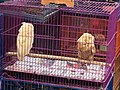 Owls in Jatinegara Market.jpg