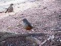 Pássaros em Porto Alegre 004.JPG