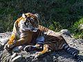 PDZA Tiger 2015.jpg
