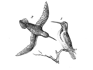 PSM V05 D293 Male and female hummingbirds.jpg