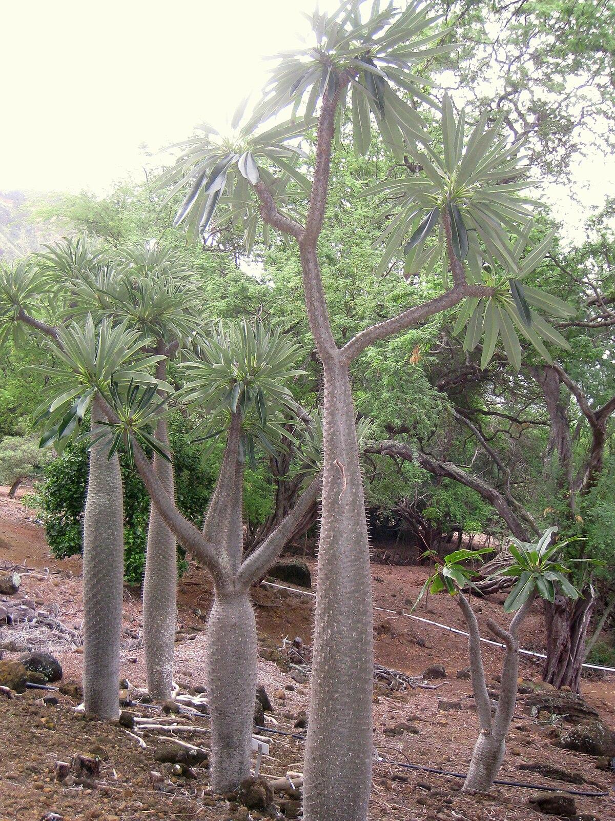 Madagaskarin Palmu