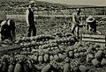 Packing Pineapples, Pearl Harbor (1898).jpg