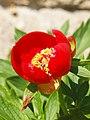 Paeonia peregrina 'Fire King' Botanic Garden Munich Nymphenburg.JPG
