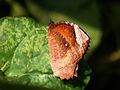 Palm Fly Butterfly Im IMG 5938.jpg