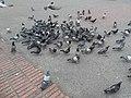 Palomas negras-blanco Bog oct 2018.jpg