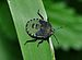 Palomena prasina qtl6.jpg