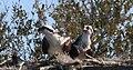 Pandion haliaetus (Osprey) photograph 02.jpg