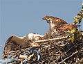 Pandion haliaetus -Belize -two on nest-8.jpg