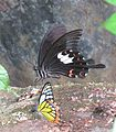 Papilio helenus Linnaeus, 1758 – Red Helen at Kottiyoor Wildlife Sanctuary (4).jpg