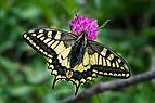 Papilio machaon Mitterbach 01.jpg