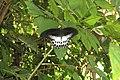 Papilio polymnestor Cramer, 1775 – Blue Mormon at Mayyil (2).jpg