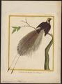 Paradisea apoda - 1700-1880 - Print - Iconographia Zoologica - Special Collections University of Amsterdam - UBA01 IZ15700107.tif