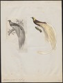 Paradisea apoda - 1700-1880 - Print - Iconographia Zoologica - Special Collections University of Amsterdam - UBA01 IZ15700113.tif