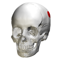 Parietal eminence - skull - anterior view02.png