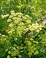 Parsley (1045748016).jpg