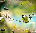 Parus major autumn.jpg