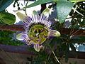 Passiflora Caerulea01.JPG