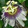 Passiflora edulis (flower).jpg