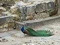 Peacock - panoramio (2).jpg