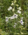 Peacock larkspur white flowers.jpg