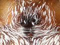 Pelegrina aeneola epigyne 01.jpg