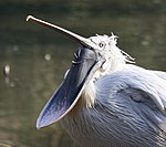Pelican with open pouch.jpg