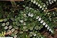 Pellaea rotundifolia 1zz.jpg