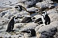 Penguin colony in Hermanus 03.jpg