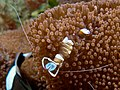 Periclimenes magnificus (Transparent commensal shrimp) on anemone.jpg