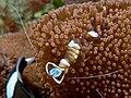 Periclimenes magnificus (Transparent commensal shrimp) on anemone.jpg