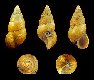 Hydrobiidae Family of snails