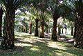 Perkebunan kelapa sawit milik rakyat (95).JPG