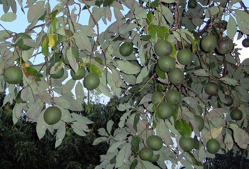 feuilles et fruits de l'avocatier