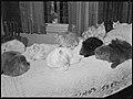 Persian cats on a bed Pix November 1945.jpg