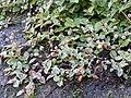 Persicaria capitata-3-badulla road-nuwara eliya-Sri Lanka.jpg