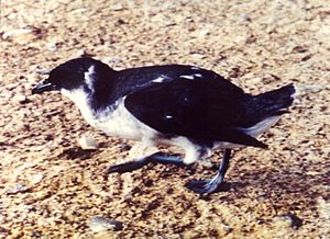 Peruvian Diving Petrel Fledge.jpg