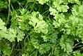 Petroselinum crispum 0zz.jpg