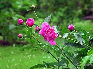 Blüten einer gefüllten Sorte der Garten-Pfingstrose (Paeonia officinalis)