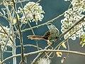 Phacellodomus dorsalis - Chestnut-backed Thornbird 1.jpg