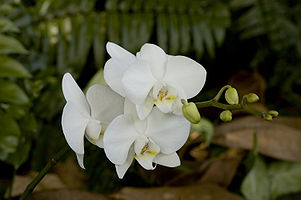 Phalaenopsis white cultivar 2.jpg