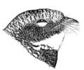 Phalaenoptilus nuttalliiAPP64LB.png