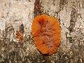 Phlebia radiata 55531233.jpg