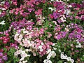 Phlox from Lalbagh flower show Aug 2013 8409.JPG