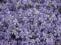 Phlox subulata flowering 01.JPG