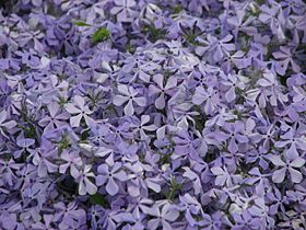 Phlox subulata flowering 01.JPG